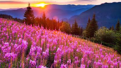 Papel de parede pc hd natureza campo de flores rosas no amanhecer.