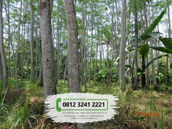 Jual Bibit & Benih Biji Pohon Sengon Solomon