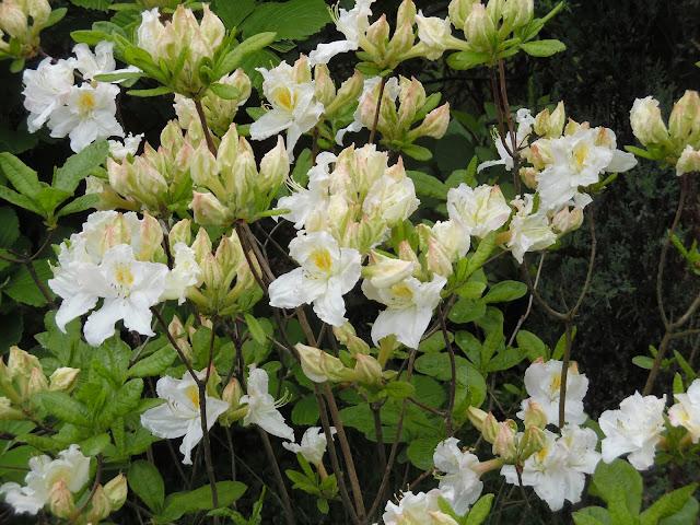 kwiaty azalii Oxydol