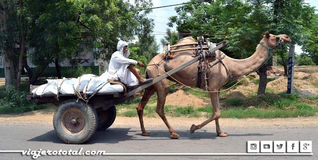 Carro de camello - India