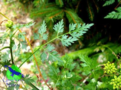 feuille petite ciguë stages plantes sauvages Franche comté bourgogne
