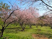 Bosque das Cerejeiras no Parque do Carmo