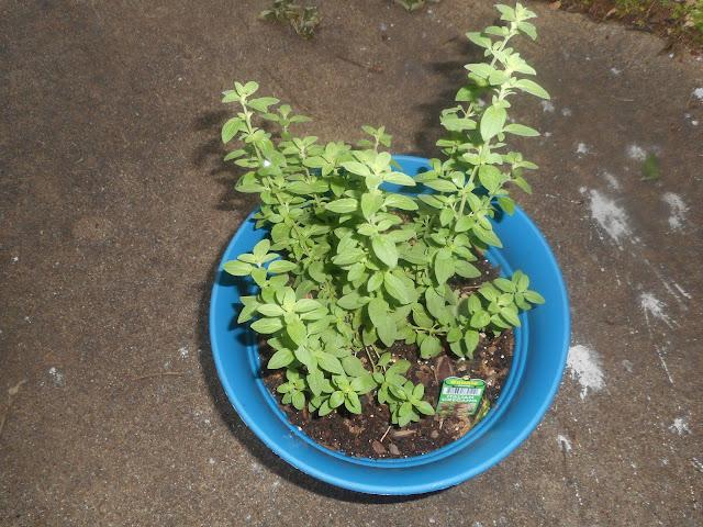 My Oregano plant