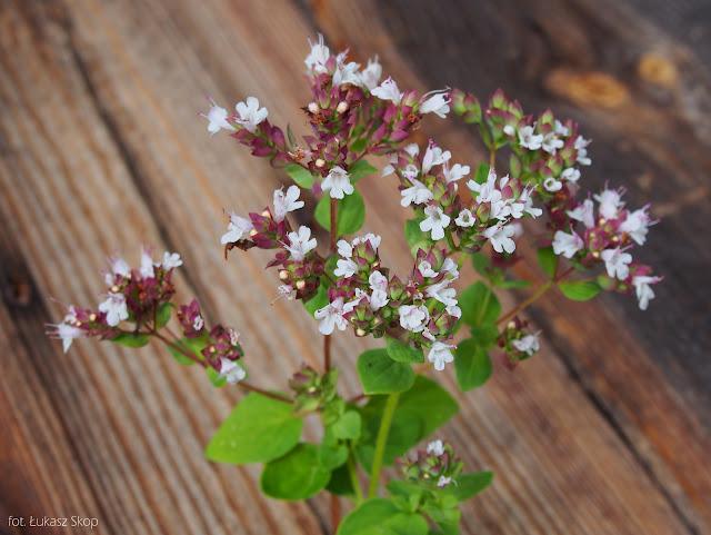 jadalne kwiaty oregano