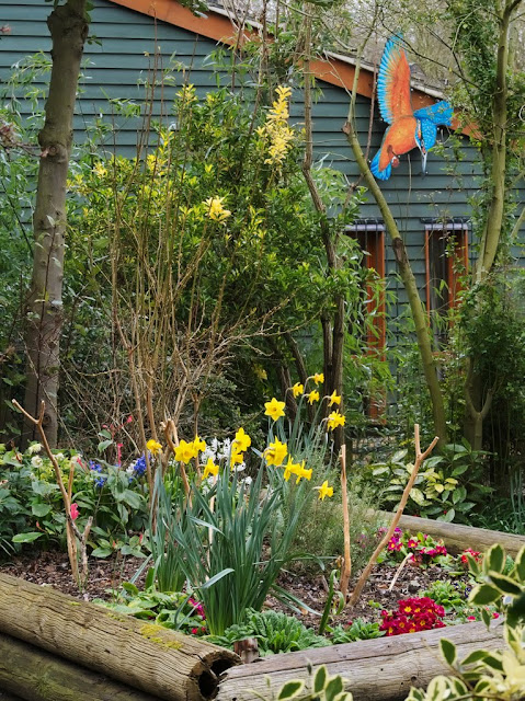 Daffodils with polyanthus and hyacinth in raised bed.