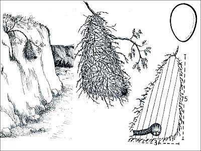 nido de Espinero andino Phacellodomus striaticeps