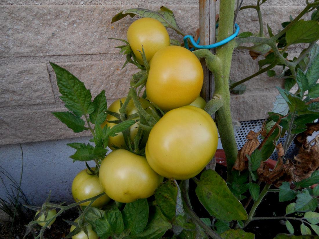 I miei pomodori settembre 2016