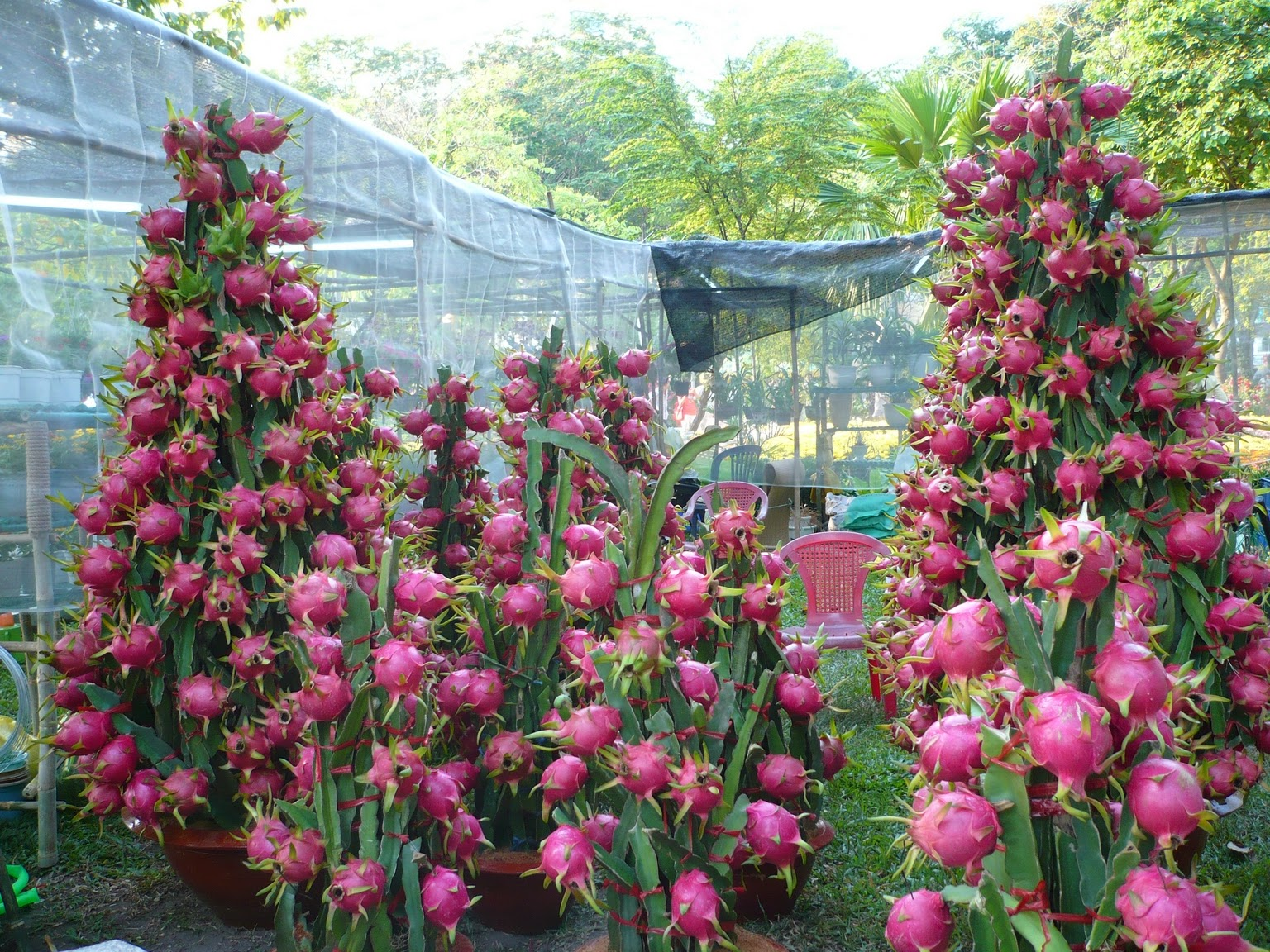 dragon-fruit-in-containers