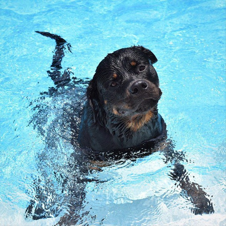 Rottweilers 09