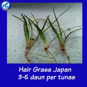 Jual Hair Grass Japan Aquascape