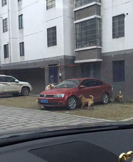 Look Here! A Heartless Man Kicks a Stray Dog - It Comes Back with Its Pack To Wreck the Man's Car!Look Here! A Heartless Man Kicks a Stray Dog - It Comes Back with Its Pack To Wreck the Man's Car!