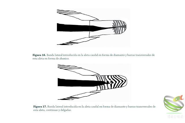 Apistogramma flabellicauda