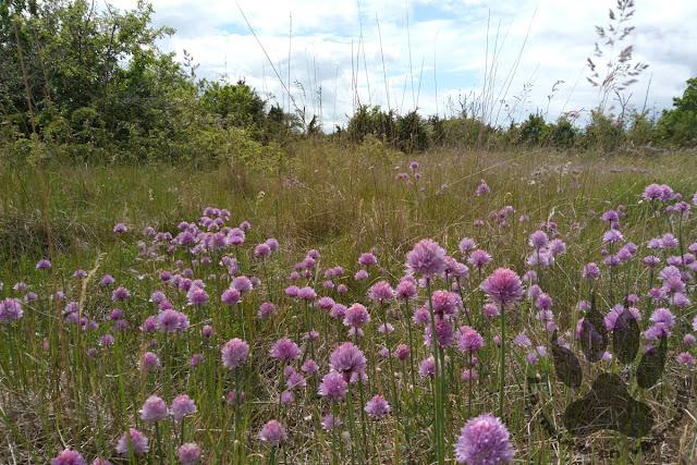 Suede-Oland-Horns-kungsgard-champ-fleurs