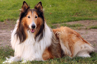 Everything about your Collie