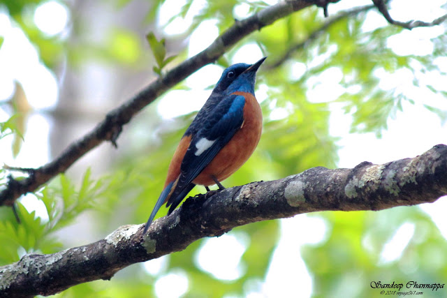 The colorful Blue-capped rock Thrush