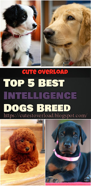 Top 5 Best Intelligence Dogs Breed
