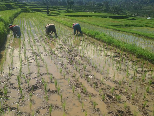 棚田の雑草取り作業