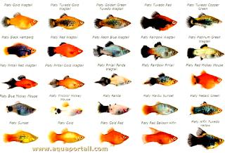 Begini melihat Perbedaan Ikan Platy Dan Molly