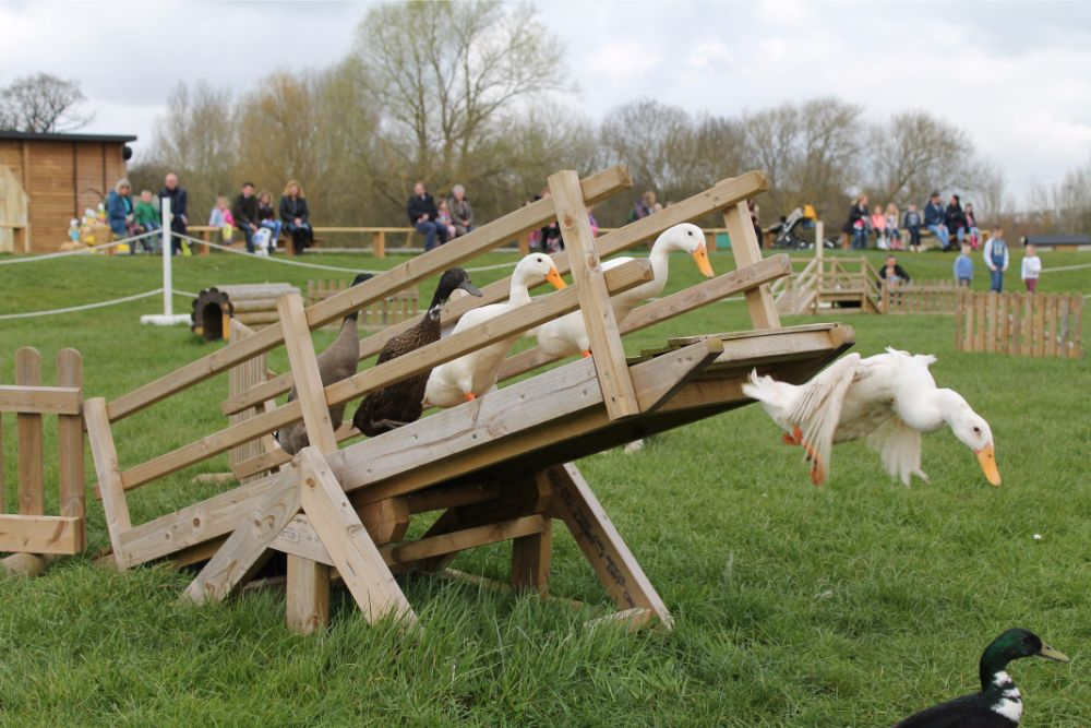 ducks-racing-over-wooden-bridge