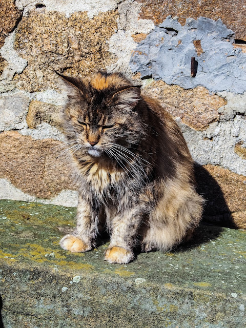 Dynamicats love lucy, Maine Coon