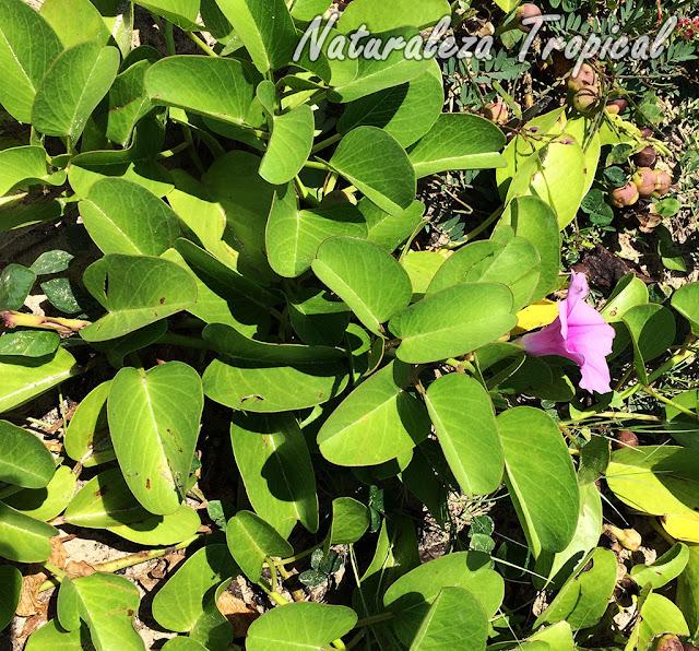 Vista de la planta Bejuco de Playa, Ipomoea pes-crapae
