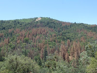 This is a picture of drought-induced dieback of ponderosa pines in California's Tehachapi Mountains as seen in June 2014. (Credit: Ian McCullough, Univ. of California Santa Barbara) Click to Enlarge.