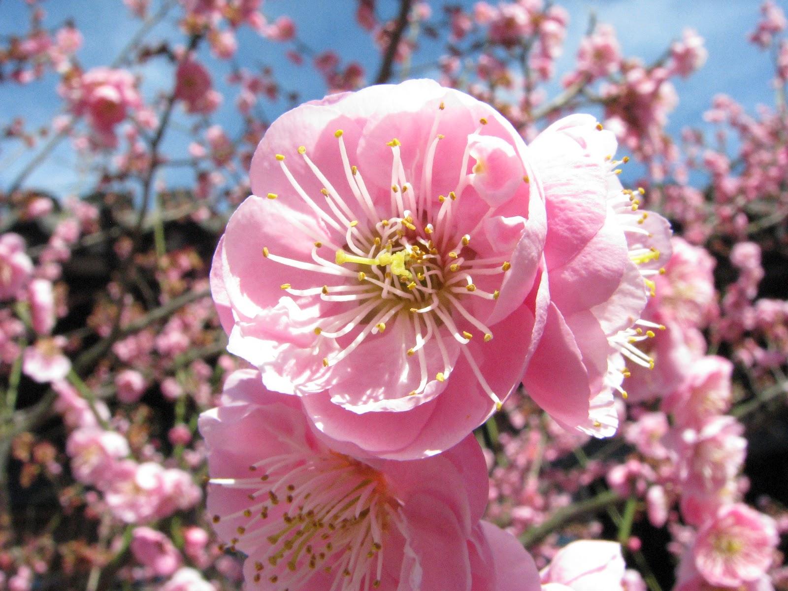 plum blossom  china national flower  flowers flowers