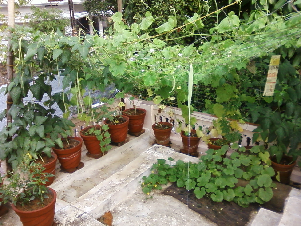 Teen's Kitchen Garden: Terrace kitchen garden III