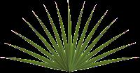 planta pontuda png