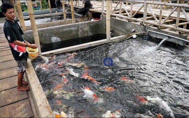 Cara Termudah Memelihara dan Budidaya Ikan Koi Terlengkap