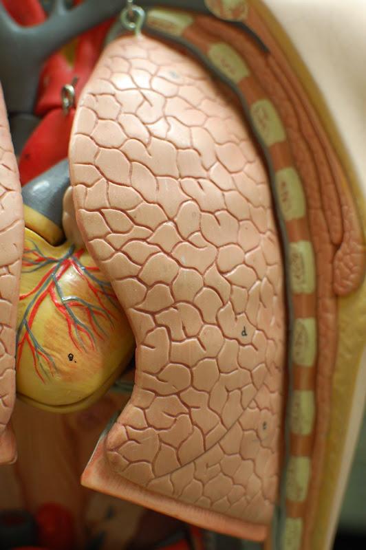Human Anatomy Lab: The Respiratory System
