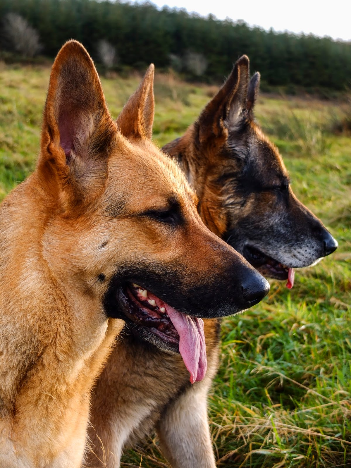 Profile of two German Shepherds Nala and Steve with their eyes closed and panting sitting on a mountainside.