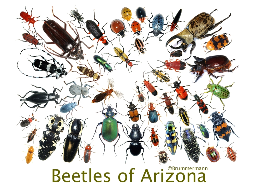 On Tuesday November The 28th At 7 Pm I Am Giving A Talk About Beetles Of Arizona For Tucson Erfly Society Lutheran Church In