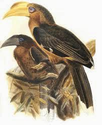 Cálao pardo de Tickel Anorrhinus