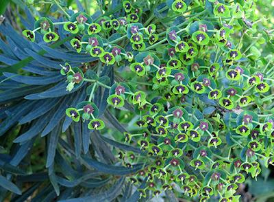 Lechetrezna macho (Euphorbia characias)