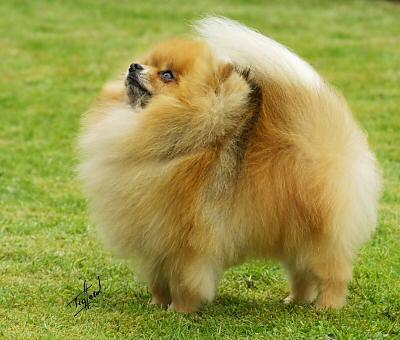 Animals Plannet Pomeranian Dogs Photos
