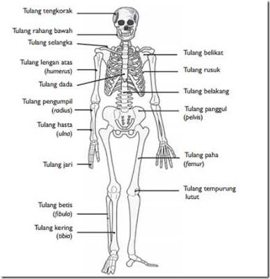 Organ Gerak Manusia