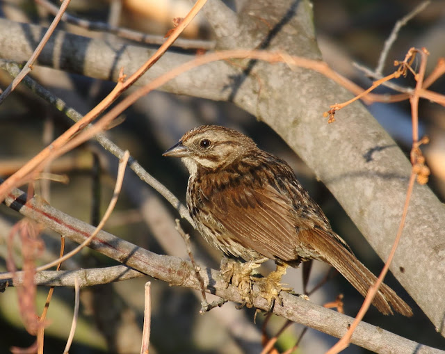 Song Sparrow with apparent scaly mite infection