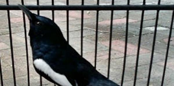 Burung Kacer Hanya Diam