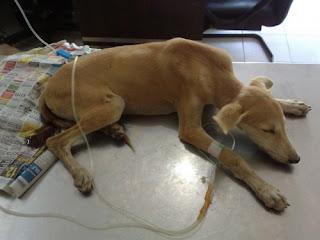 Colitis en perros puede ser mejor descrito como muy similar al que experimentan las personas