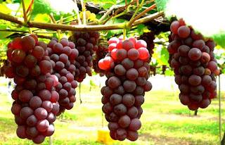 13 Manfaat Dari Anggur Merah Untuk Kulit, Rambut Dan Kesehatan