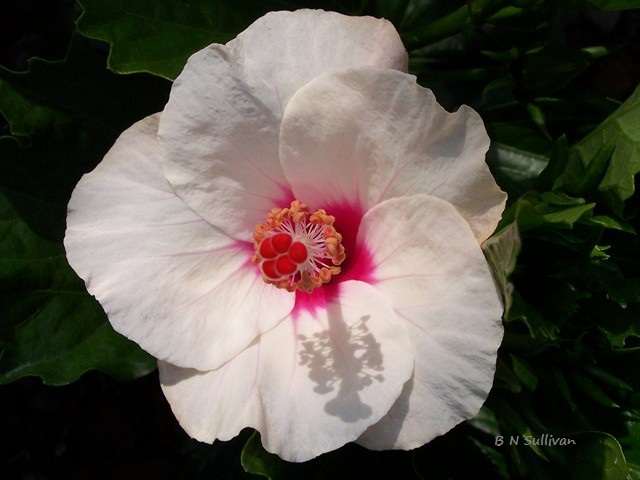 Cool Wind tropical hibiscus