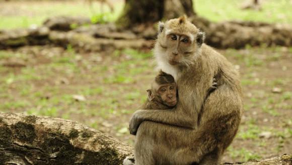 Monyet di Cagar Alam Pananjung Pangandaran (foto: Anton Marvin/fotokita.net)