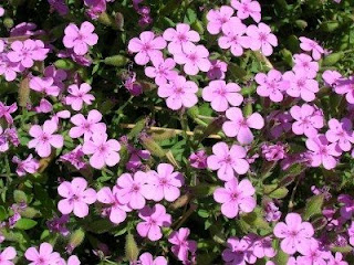 Soapwort the perennial plant that can be used as Detergent and Soap is also a suggested Stone Wall Plant Idea.
