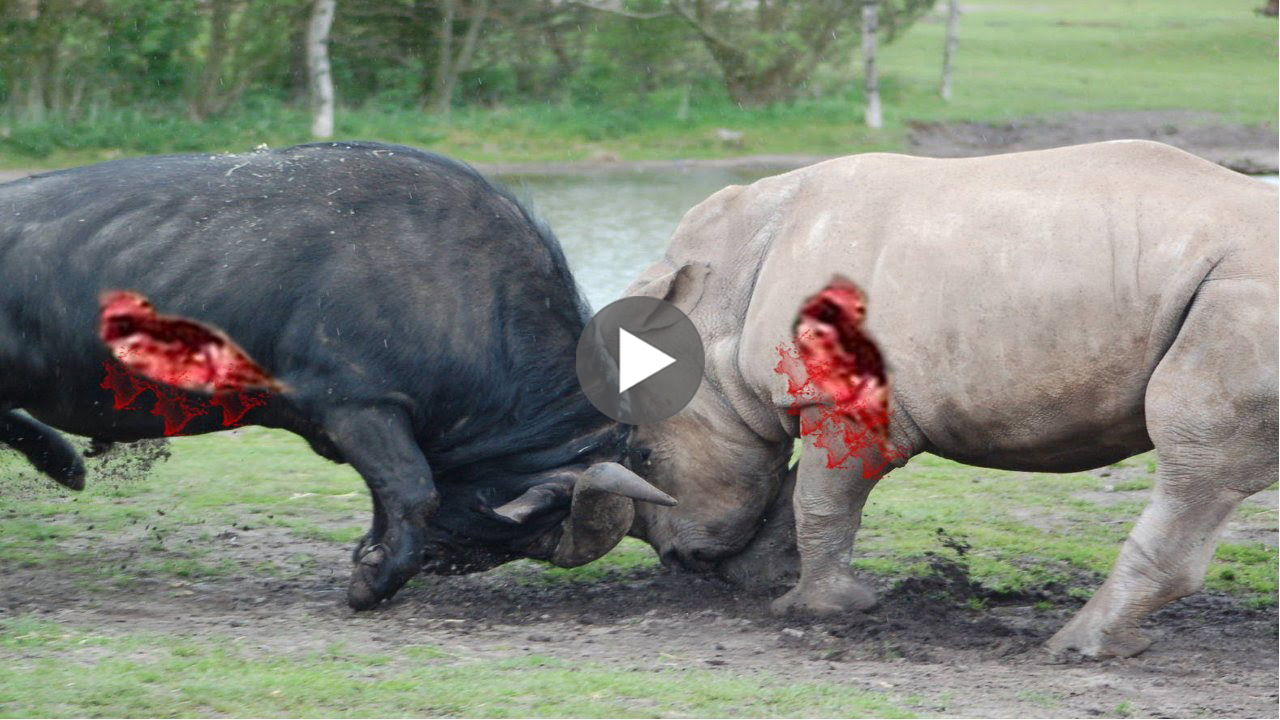 Lion vs rhino