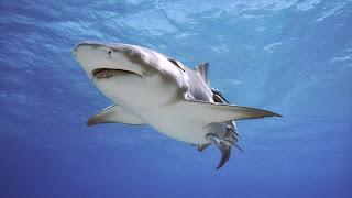 Wallpaer hiu