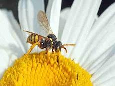 Lebah Pekerja, Betina Yang Rajin Dan Terus Bekerja Hingga Meninggal