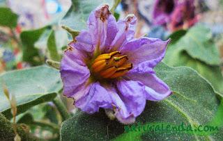flor de la berenjena