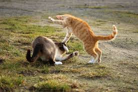 Cat Fights
