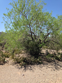 Ironwood tree in tan soil. Trunk divided close to ground, multiple trunk limbs with small green leaves. Jojoba bush and smaller prickly pear cacti growing underneath the tree. Bright blue sky and hill in the background.